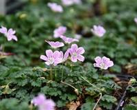Erodium 'Roseum'