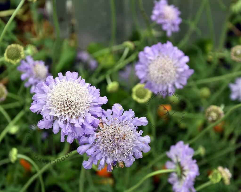 Scabiosa colombaria 'Butterfly Blue'