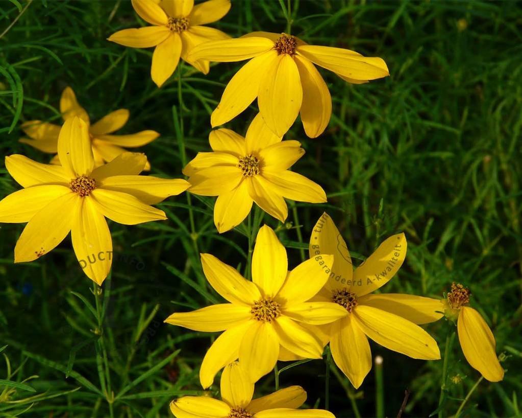 Coreopsis verticillata