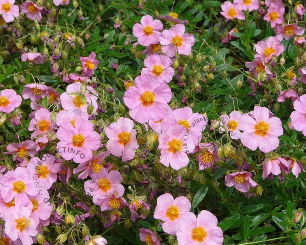 Helianthemum 'Lawrence Pink'