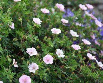 Geranium sanguineum var striatum