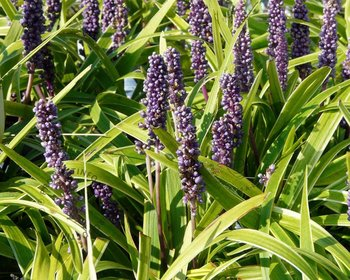 Liriope muscari 'Gold Banded'