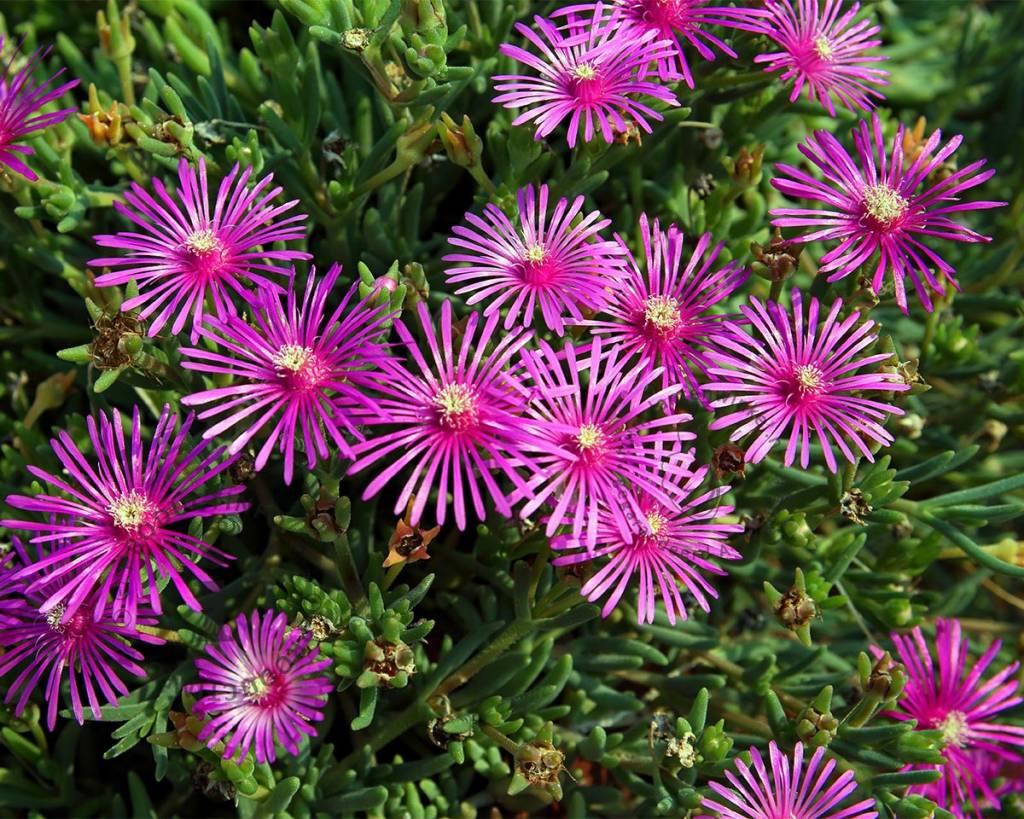 Delosperma cooperi middagbloempje vertrouwd online kopen for Pianta fiori viola