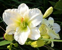 Hemerocallis 'Gentle Shepherd'