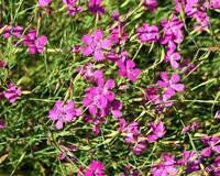 Dianthus deltoides 'Splendens'