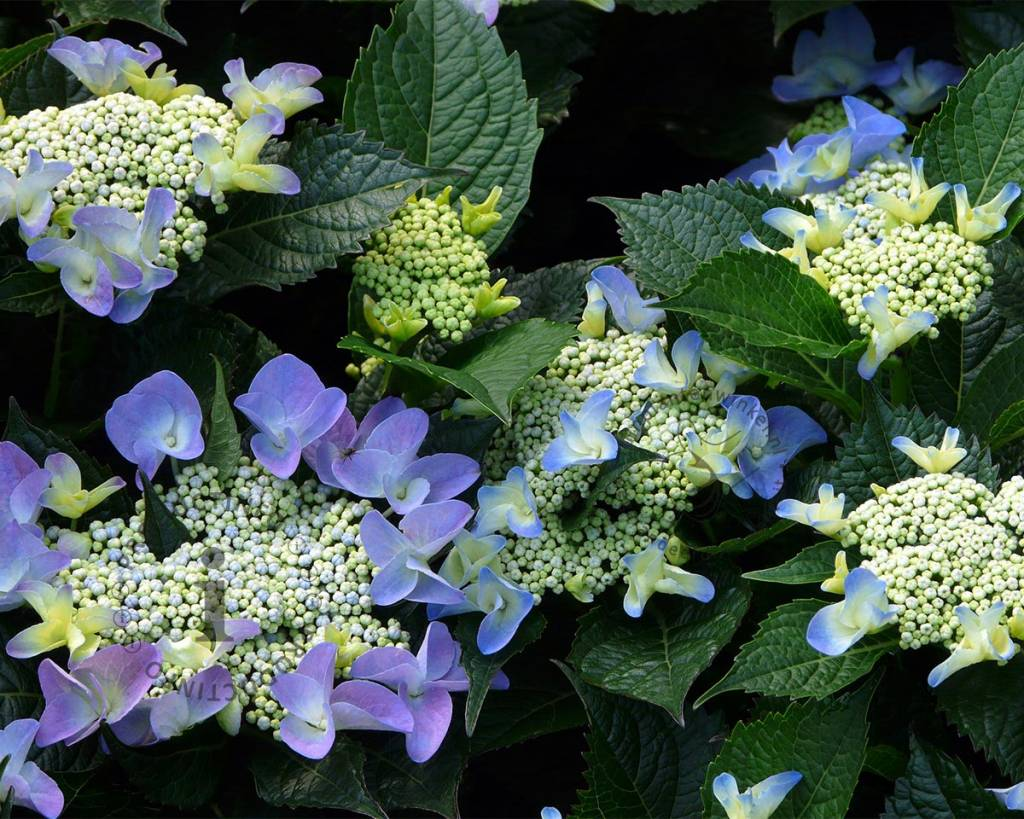 hydrangea macrophylla 39 blaumeise 39 teller hortensia vertrouwd online kopen. Black Bedroom Furniture Sets. Home Design Ideas