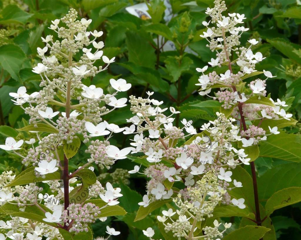 hydrangea paniculata 39 kyushu 39 pluimhortensia vertrouwd. Black Bedroom Furniture Sets. Home Design Ideas