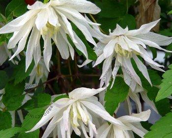 Clematis alpina 'Albina Plena'