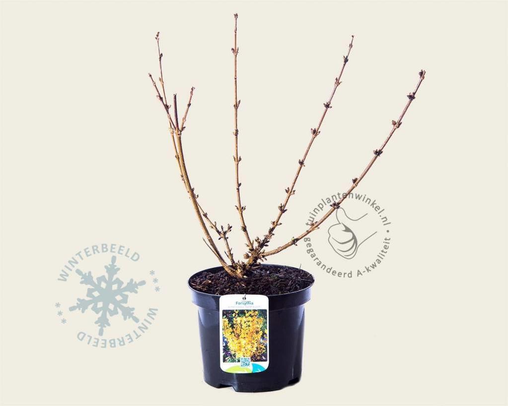 Forsythia intermedia 'Goldrausch