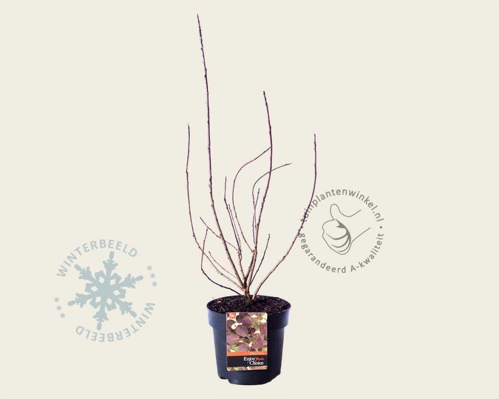 Cotinus coggygria 'Lilla'