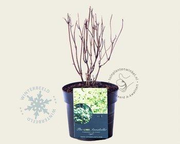 Hydrangea arborescens 'Lime Rickey'