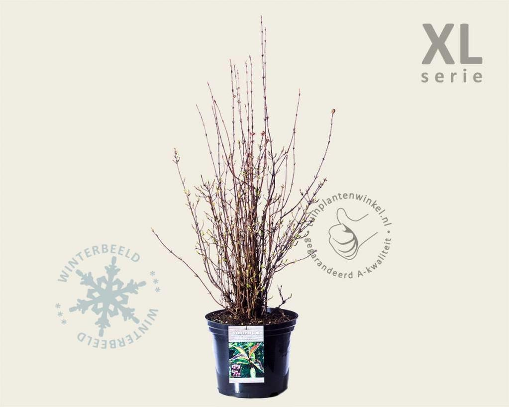 Viburnum farreri 'December Dwarf' - XL
