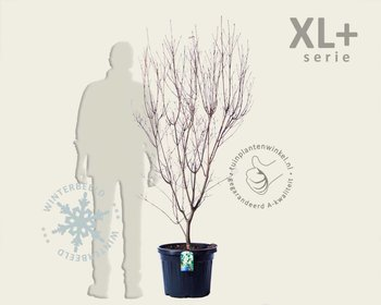 Cornus kousa 'China Girl' - XL+