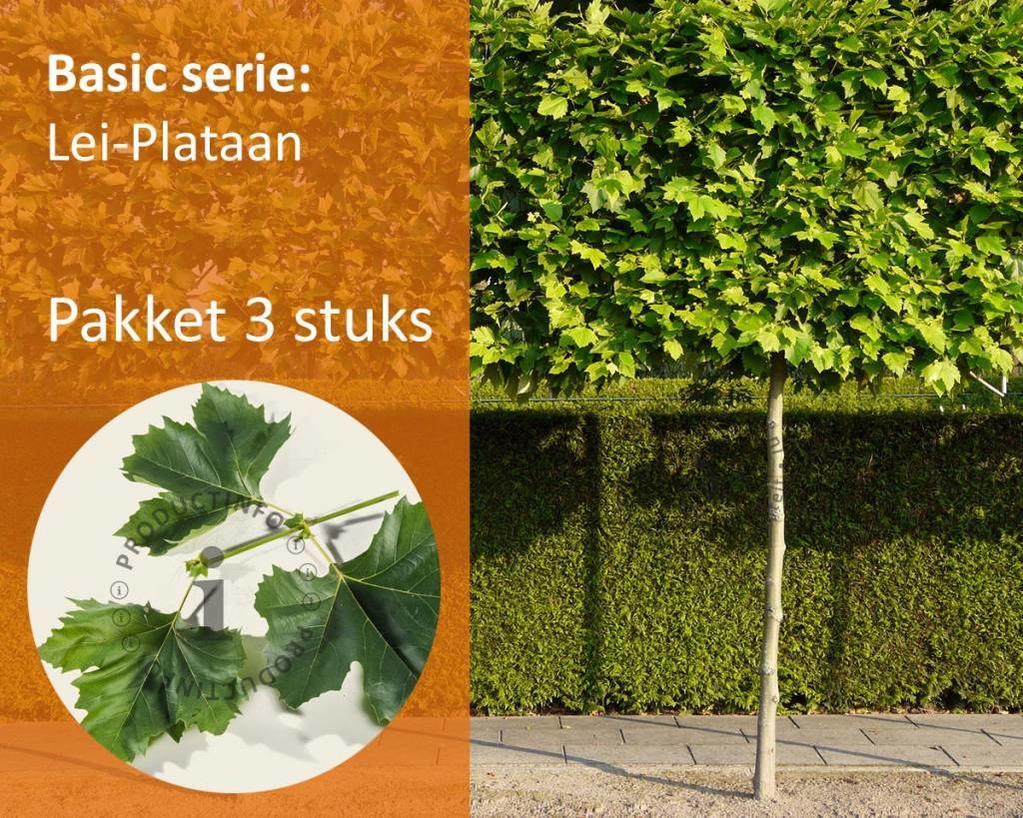 Lei-Plataan Basic - Pakket 3 stuks + Extra's!