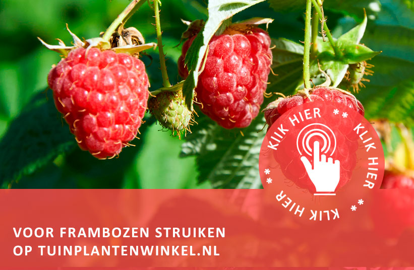 frambozen – uit eigen tuin   tuinplantenwinkel.nl - tuinplantenwinkel.nl