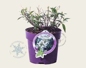 Buddleja davidii FP 'Snow White'