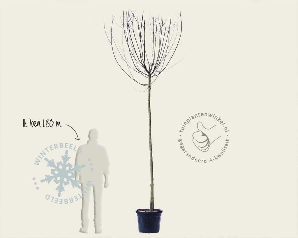 Salix alba 'Belders'