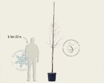 Magnolia stellata 'Royal Star' - hoogstam
