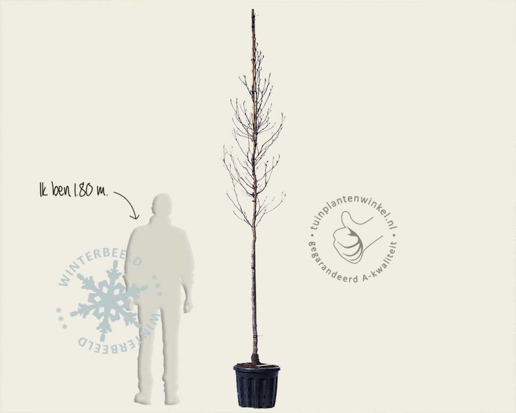 Magnolia 'Susan' - hoogstam