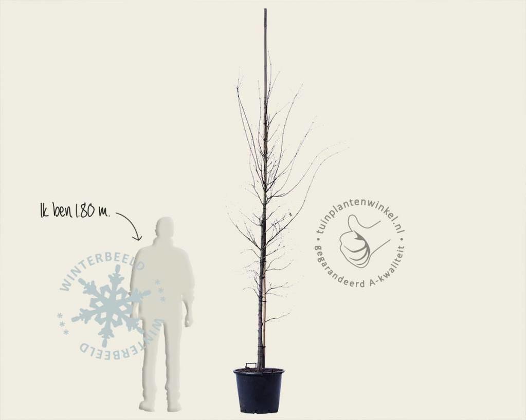 Acer palmatum - boomvorm