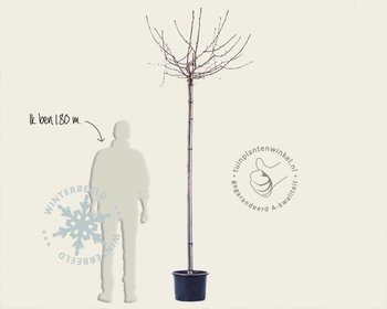 Sorbus commixta 'Fireball'