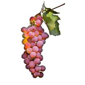 Pinot gris - Grigio
