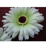 Haarblüte creme-grüne Gerbera 2 x