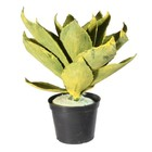 vetplant agave groen geel zonder pot