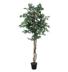 EUROPALMS EUROPALMS Variegated Ficus, 180cm