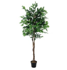EUROPALMS EUROPALMS Ficus tree multi-trunk, 180cm