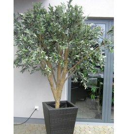 EUROPALMS EUROPALMS Giant Olive tree, 250cm