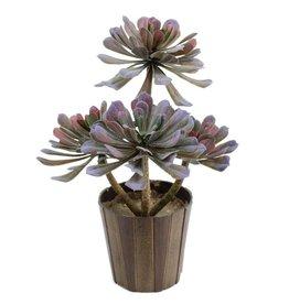 EUROPALMS EUROPALMS Aeonium plant, olive-green, 30cm