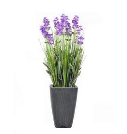 EUROPALMS EUROPALMS Lavender, purple, in pot, 45cm