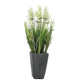 EUROPALMS EUROPALMS Lavender, creme, in pot, 45cm