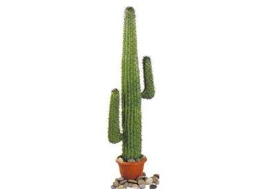 Woestijn Planten & Cactussen