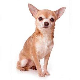 Canvas Chica Chihuahua