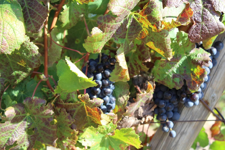 Wijnen van Louisvale