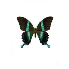 Liljebergs Liljebergs Papilio blumei