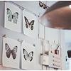 Liljebergs Papilio blumei