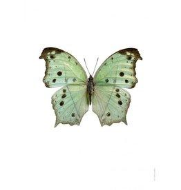 Liljebergs Liljebergs Salamis Parhassus, Green