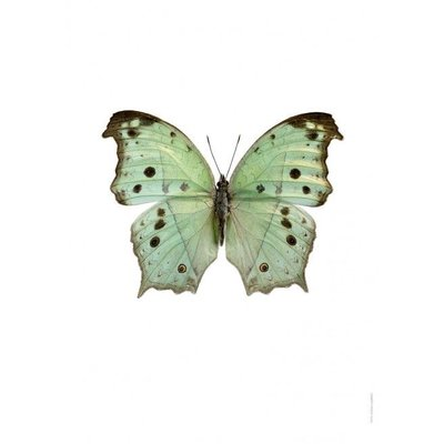 Liljebergs Salamis Parhassus, Green