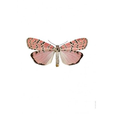 Liljebergs Utethesia Orantrix Bella