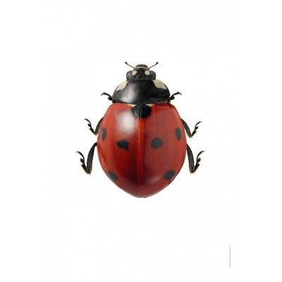 Liljebergs Coccinella Septempunctata