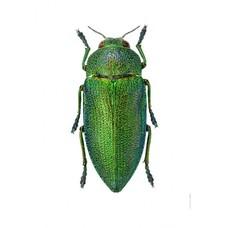 Liljebergs Perotis Unicolor
