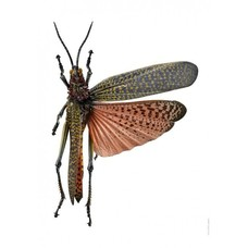 Liljebergs Liljebergs Phymateus saxosus