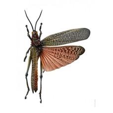 Liljebergs Phymateus saxosus