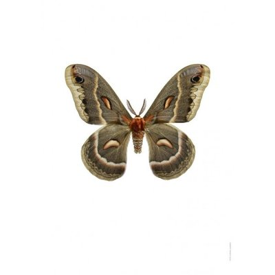 Liljebergs Hylophora cecropia