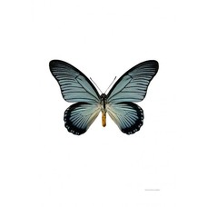 Liljebergs Liljebergs Papilio Zalmoxis