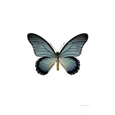 Liljebergs Papilio Zalmoxis