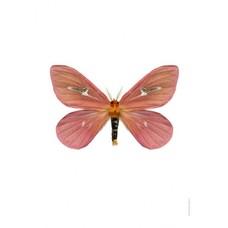 Liljebergs Cerodirphia Apunctata